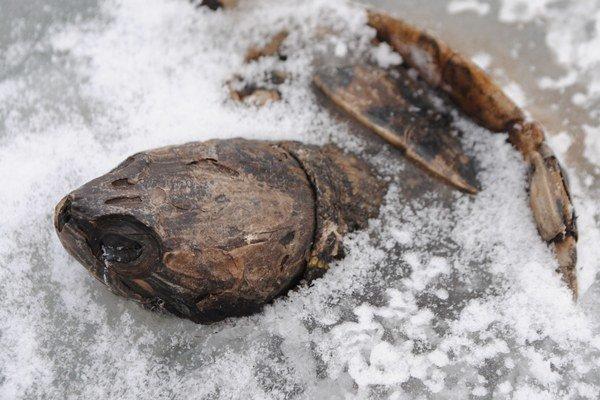 Korytnačka v ľade. Objavili ju korčuliari na jazierku Baňa v Michalovciach. Podľa ochranárov je to neobvyklé, pretože korytnačky už od novembra hibernujú na dne jazera.