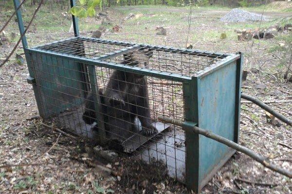Približne trojročného medveďa chytili do odchytového zariadenia náhodne.