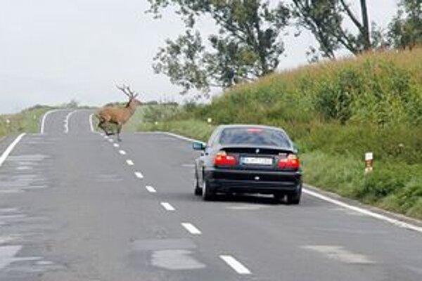 Jelene vážia od 100 do 250 kilogramov. Pre posádky áut sú v prípade havárie vážnou hrozbou.