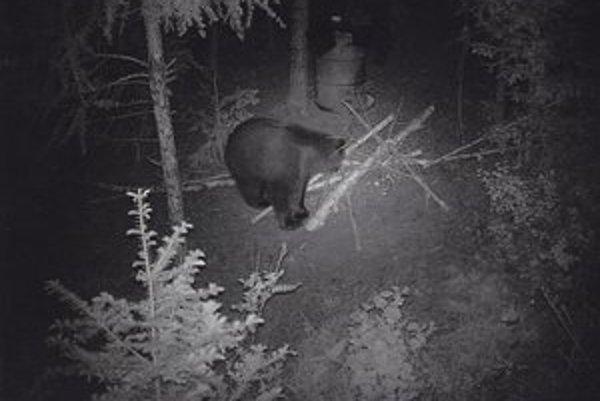 Zachytený medveď v lese. Neodolal pripraveným pochúťkam.