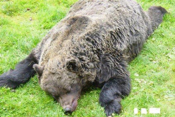 Medveď z Kvačianskej doliny. Uhynul kvôli odpadkom.