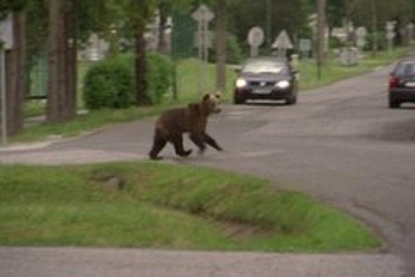 Medveďa, ktorý sa túla po Tatranskej Lomnici, odporučila Správa TANAPu na odstrel.
