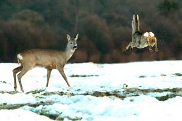 Zver to v zime nemá ľahké, lesníci sa jej snažia pomôcť.