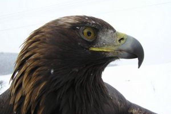 Orol skalný je našim najväčším dravým vtákom.