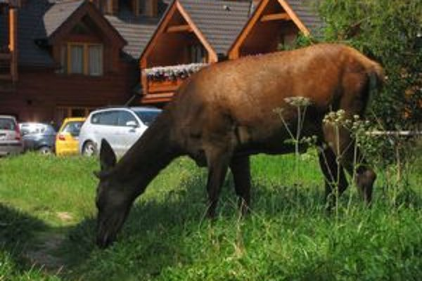 Pasúca sa jelenica. Turistom sa priblížila na vzdialenosť šiestich metrov.