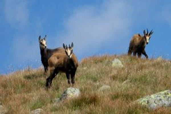 Kamzíky na hrebeni Nízkych Tatier.