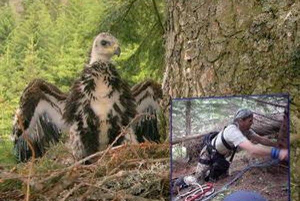 Jediné tohtoročné orlíča sa narodilo 5. mája. Dnes váži 4,5 kila. Metod Macek sa orlom skalným venuje už viac ako 20 rokov.