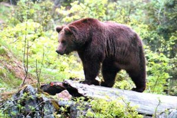Miernejšie zimy v Tatrách spôsobujú aj zmenu správania medveďov.