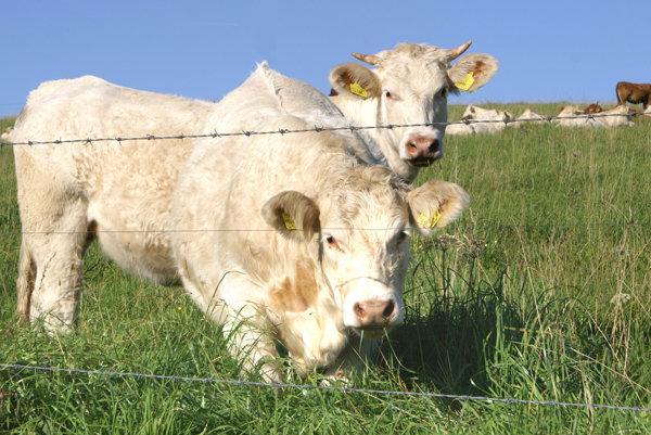 Chov hovädzieho dobytka v Mútnom.