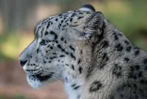 Leopardy a ďalšie divo žijúce zvieratá sa v Indii často zatúlajú do miest a niekedy aj napádajú ľudí.