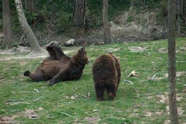 Medveď hnedý. Naoko hravý a ťarbavý tvor disponuje nesmiernou silou a obratnosťou.
