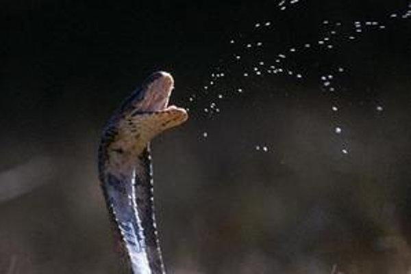 Kobra kráľovská.