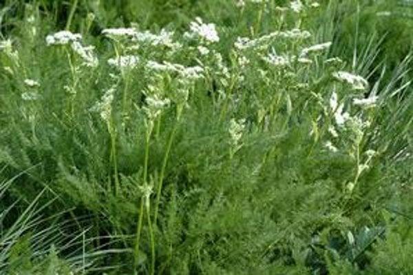Meum athamanticum - kôprovník štetinolistý.