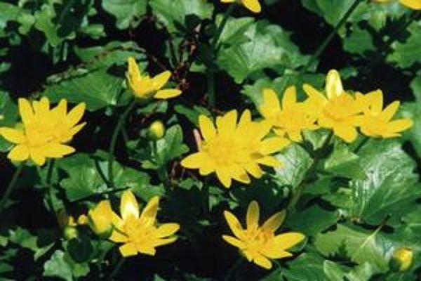 Blyskáč pahľúzkatý Ficaria bulbifera (Ranunculus ficaria).