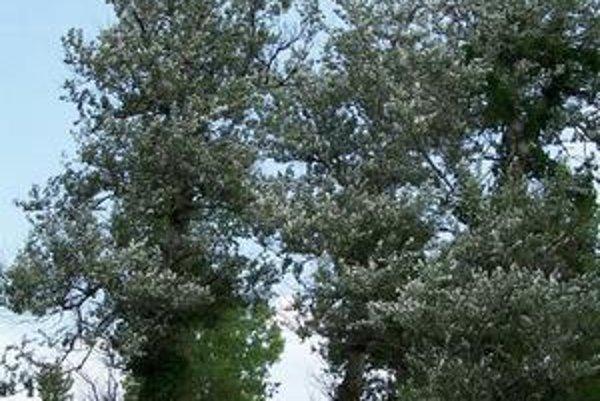 Populus alba. Topoľ biely.