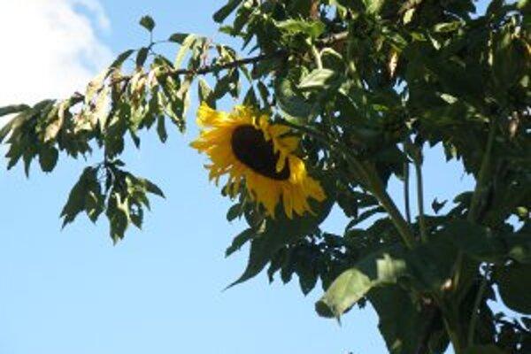 Kvety slnečnice sú až v konároch čerešne.