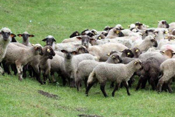 Stado oviec zo salaša Čierna Hora vo Valaskej Belej.