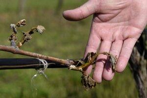 Mrazy poškodili najmä vinič a ovocné stromy.