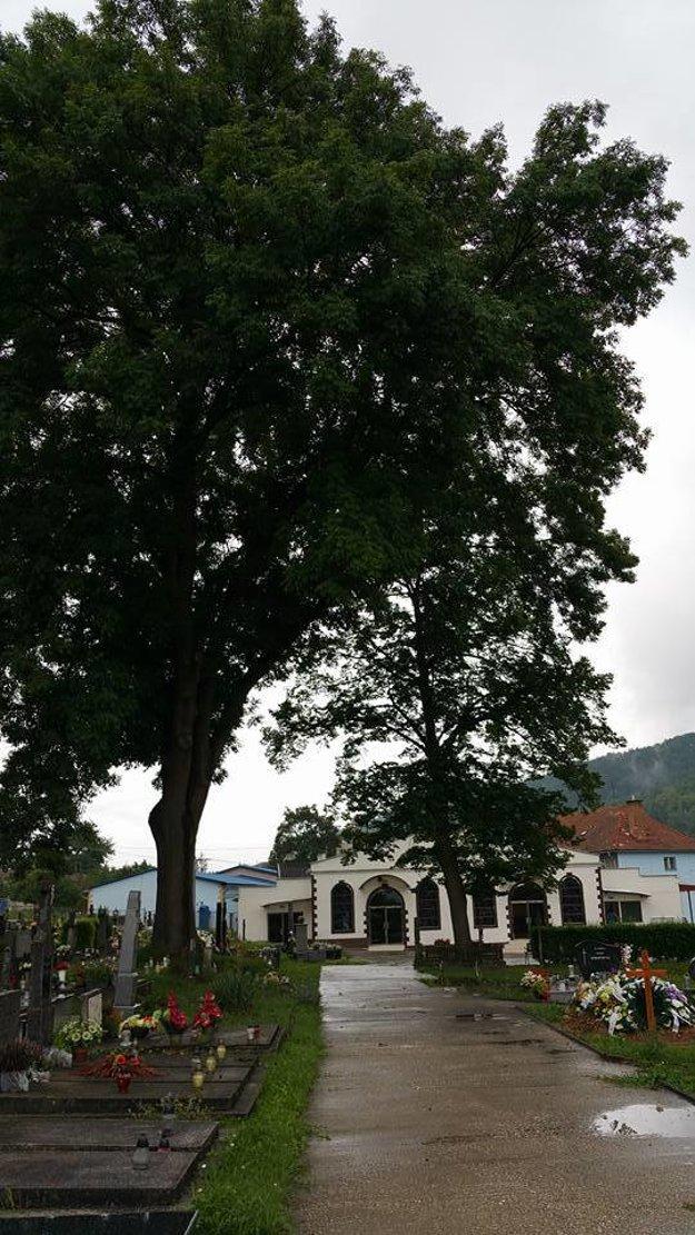 Na strome chcú zredukovať korunu, aby sa ďalej nerozširovala.