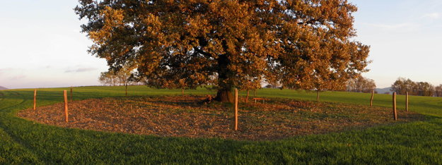 Dub stojí v poli.