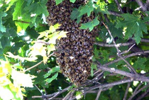 Ľudia by nemali včelí roj odháňať ani do neho nič hádzať.