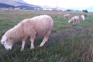 Ovce majú pastvisko medzi dvoma priemyselnými zónami.