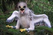 Mláďa orla krikľavého má tri a pol týždňa.