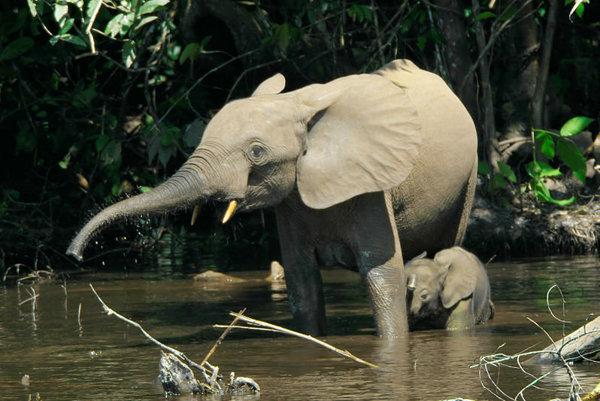 Samička slona pralesného s mláďaťom.