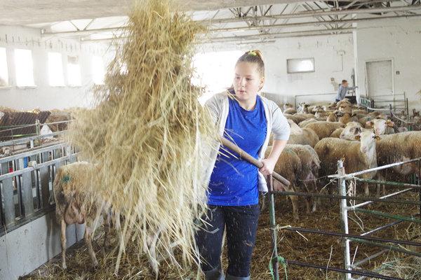 Sabínka pri rannom kŕmení oviec.