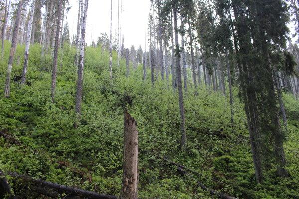 V napadnutom poraste vyrastajú nové stromky.