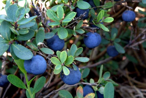 Čučoriedka barinná. jej plody sú nejedlé a mierne jedovaté.