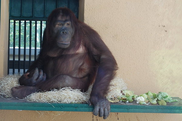 Novoveský orangutan Momo.