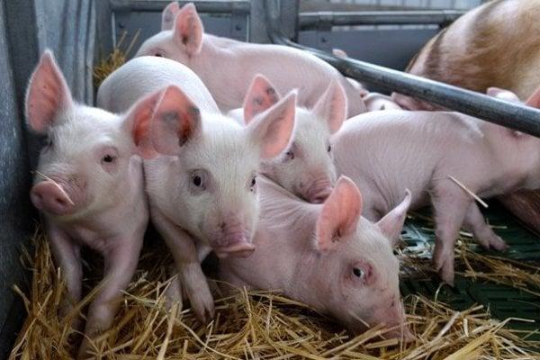 Čína pre mor ošípaných kupuje mäso z Európy.