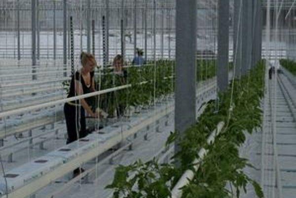 Prvú úrodu bane očakávajú vo februári.