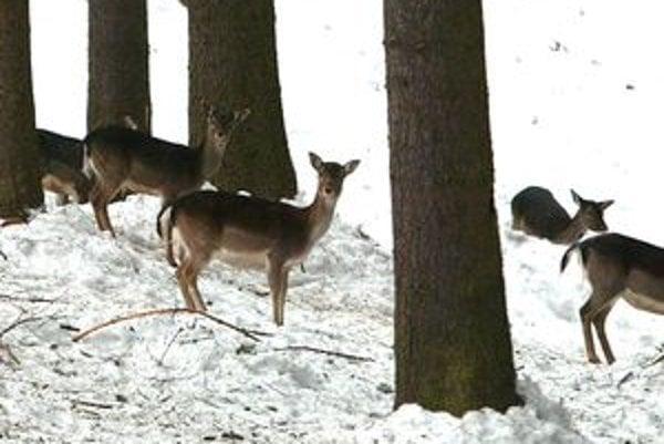 V zime sa zver spolieha na pomoc poľovníkov.