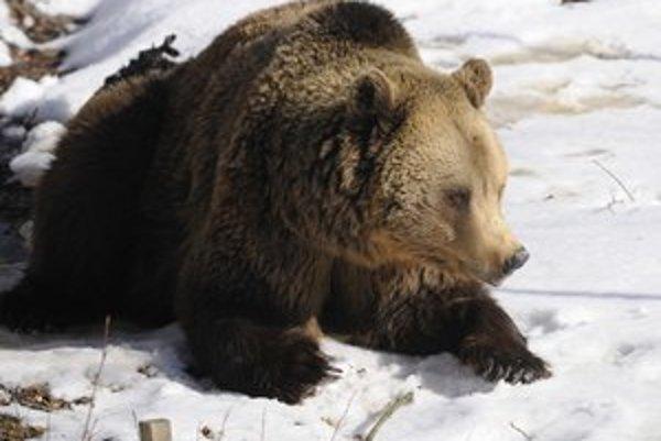 Medveďov bude asi menej, ako sa predpokladalo, ukázal doteraz prieskum.
