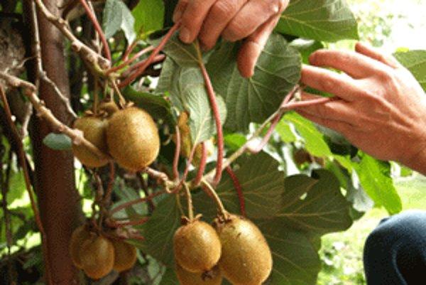 Tento rok je plodov kiwi menej, sú však väčšie ako v minulosti.