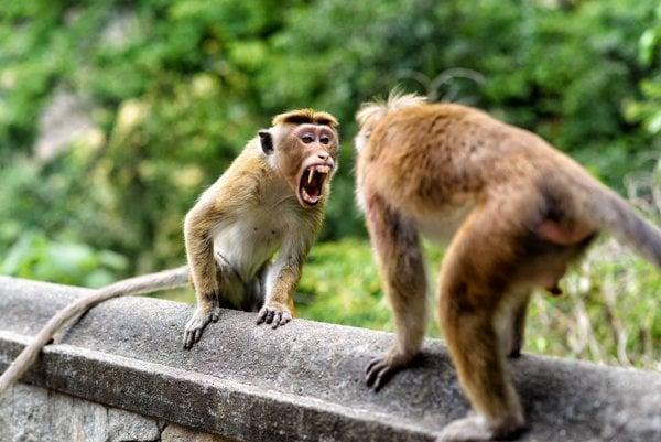 Ilustračné foto. Makaky sú známe rozvinutým spoločenským životom a prepracovanou spoločenskou hierarchiou.
