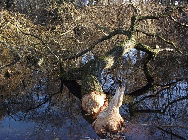 Jeden veľký strom dokážu bobry zložiť za dva - tri dni.