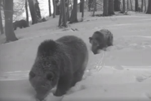 Bukvice hľadajú v snehu.