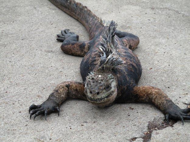 Na Galapágoch žije veľa endemitských druhov zvierat. Jedným z nich je aj leguán morský.