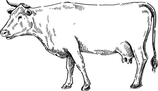 Mäso do hovädzej polievky by nemalo byť z čerstvo zabitého hoväda, ale má byť viac či menej odležané (Ján Babilon)