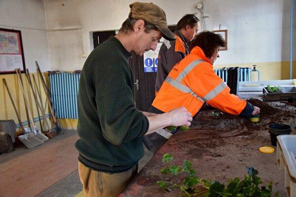 Práce v skleníku sú predzvesťou jari.
