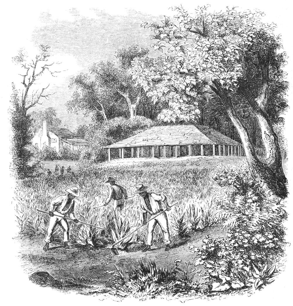 Pestovanie tabaku na Kube. Ilustrácia z roku 1855.