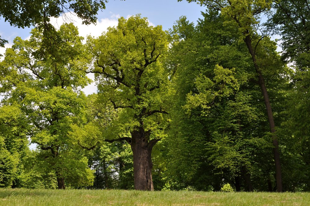 Dub Jozef, Poľsko, 650 rokov. Zvláštny príbeh dubu Jozefa je spojený s miestom, kde strom rastie. Rodinu Mycielských toto miesto tak očarilo, že si ho zvolili za svoje panské sídlo. Zámok sa stal centrom kultúry a vzdelania celého regiónu. Počas druhej svetovej vojny bol dub útočiskom jednej židovskej rodiny, ktorá sa skrývala pred nacistami. Dub bol zobrazený aj na poľskej bankovke v hodnote sto zlotých. V súčasnosti ho chodia obdivovať mnohí návštevníci a je motívom fotografií a obrazov.
