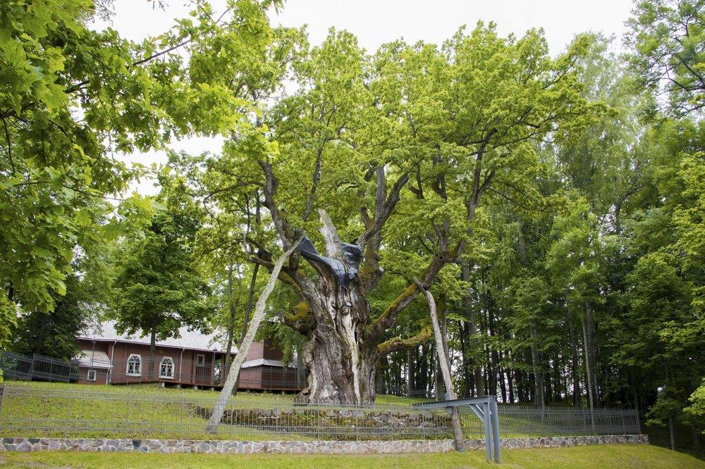 """Dub v Stelmuže, Litva, vyše 1000 rokov. Stelmužský dub sa nachádza na severovýchode Litvy. Stojí vedľa dreveného kostola, ktorý postavili v 17. storočí litovskí majstri tesári bez použitia jediného klinca. Dub je jedným z najstarších stromov v Európe a pre Litovčanov aj symbolom sily. Hovorí sa """"silný ako stelmužský dub"""". Turisti obdivujú jeho krásu a bohatú históriu – príbehy o pohanských obetiach pod jeho vetvami alebo o náleze kostry vojaka napoleonskej armády v dutine jeho kmeňa. V Litve rastie mnoho potomkov stelmužského duba, tieto mladé duby ponesú jeho gény ešte mnoho rokov."""