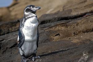 Tučniaky galapágske sú najmenšie a najmenej početné tučniaky na svete. Zároveň ide o jediný druh tučniakov, ktorý žije na sever od rovníka.