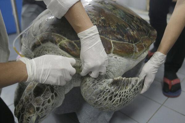 Korytnačka na z množstva kovu v organizme uhynula.