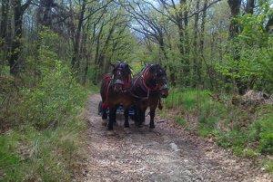 Lesnú cestu zvládli koníky bez problémov.