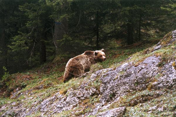 V Trebišove premietnu dokument o medveďoch.